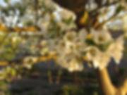 pear tree blooms.JPG