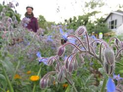 Pollinator on a borage flower
