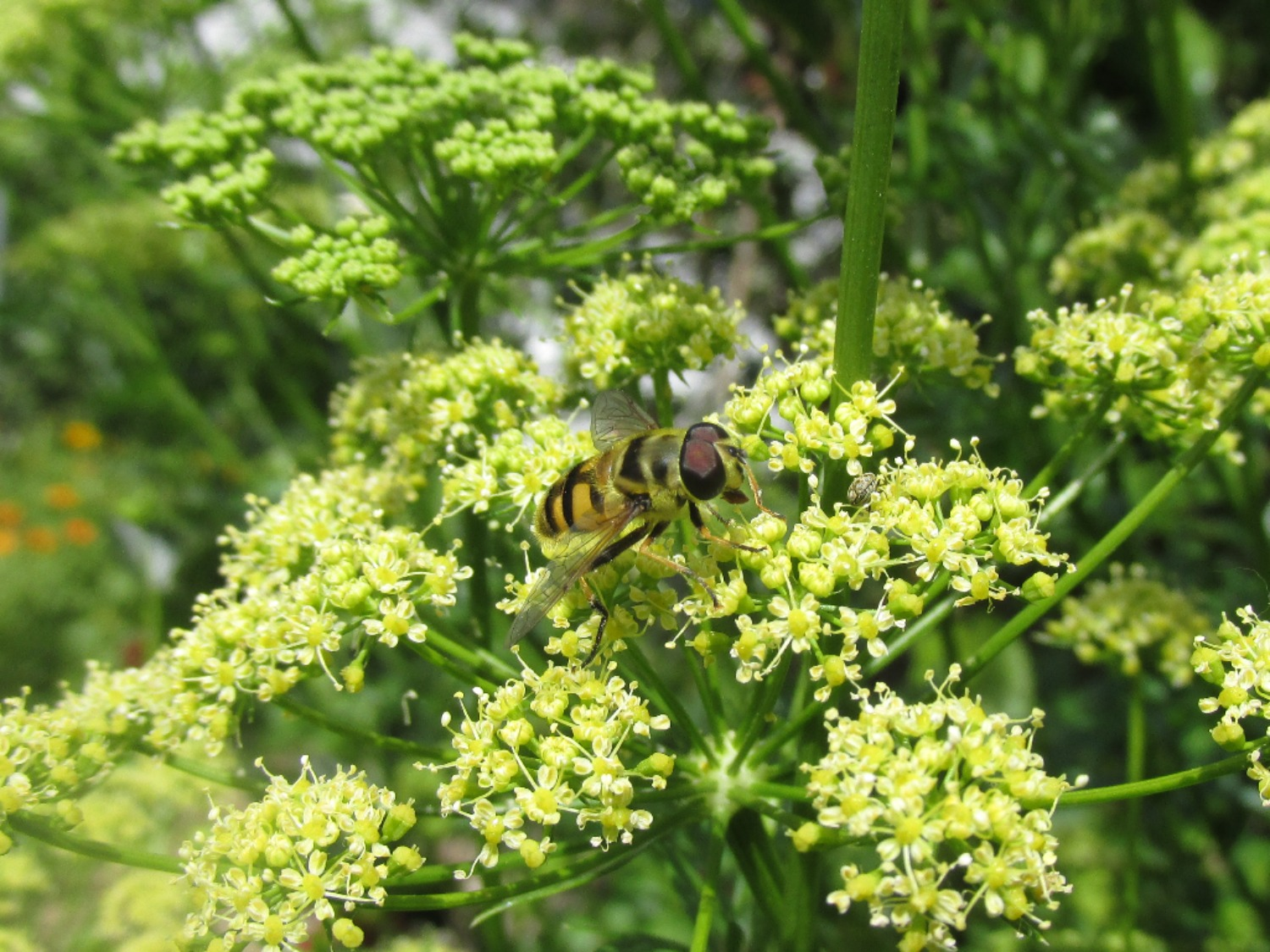 Pollinator on parsley flower