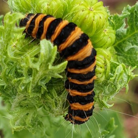 Cinnabar moth caterpillars as far as the eye could see...