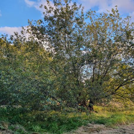 2. The fallen willow