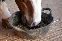 Horse eating from a rubber tub..jpg