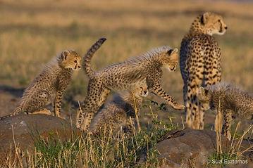 Cheetah family 1.jpg