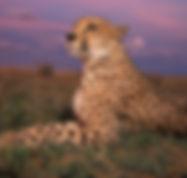 Cheetah 1.jpg