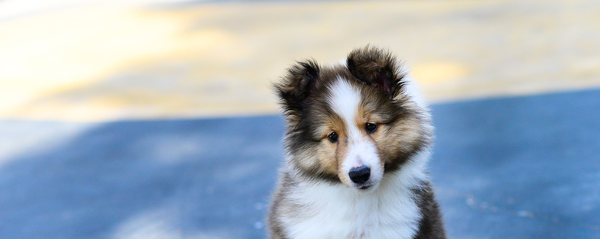 sheltie_puppies-1170x467