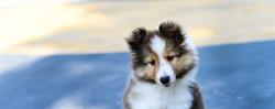 sheltie_puppies-1170x467