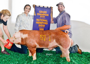 Barker Family Show Pigs, Grand Champion Boar, National Hereford Show