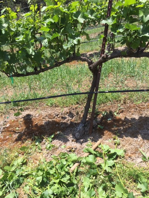 Chardonnay vine post shoot thinning
