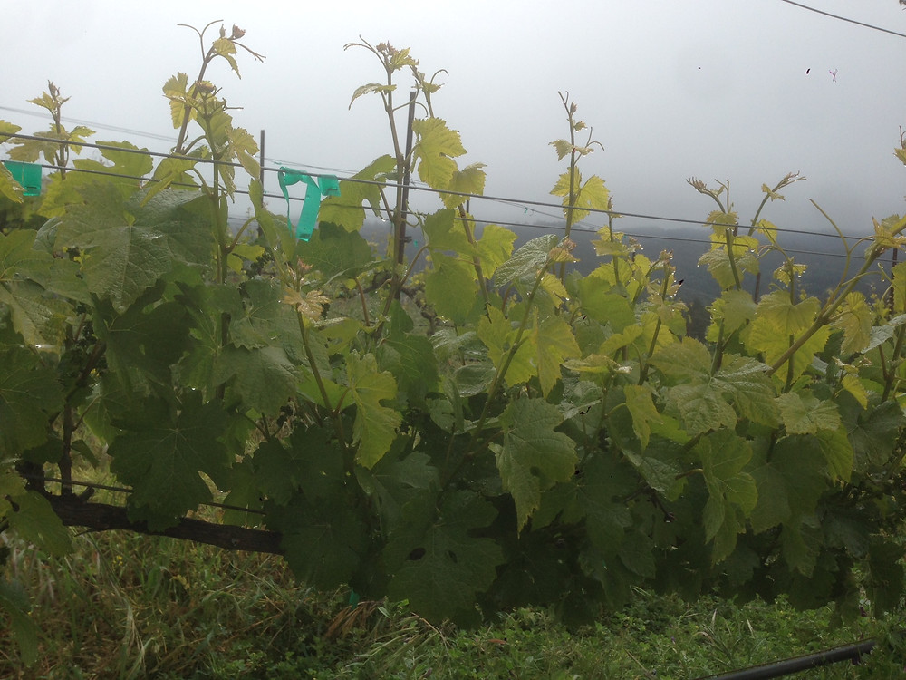 Before:  The vine pushes out a lot of growth.  Without training, the fruit will be hidded from sun, air and spray.