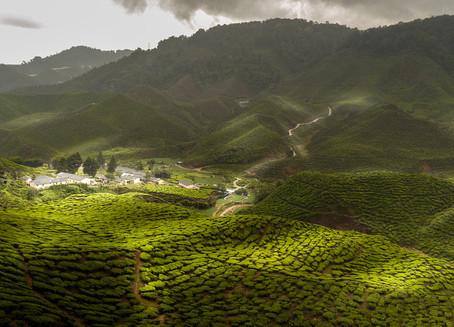 Cameron Highlands - Herbata Prosto z Krzaka