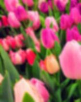 tulipany holandia