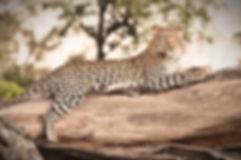 Okavango Delta Leopard_HP_edited.jpg