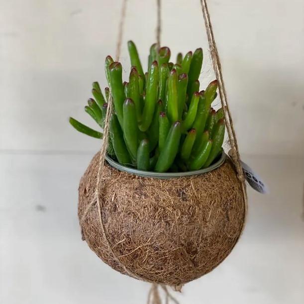 Hanging coconut succulent