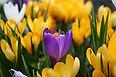 spring%20crocuses.jpg