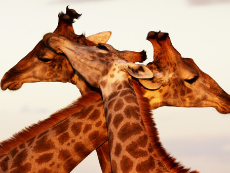 What Is It With the Giraffes?