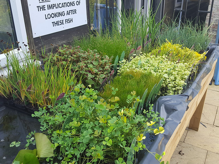 Wide range of Pond plants and marginals