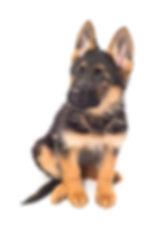 Chiot berger allemand, chiot lof berger allemand, pedigree german shepherd