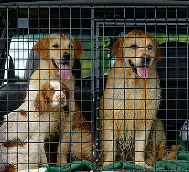 Cocker Spaniel and two Golden Retrievers. Sitting together. in dog crate in the back of a