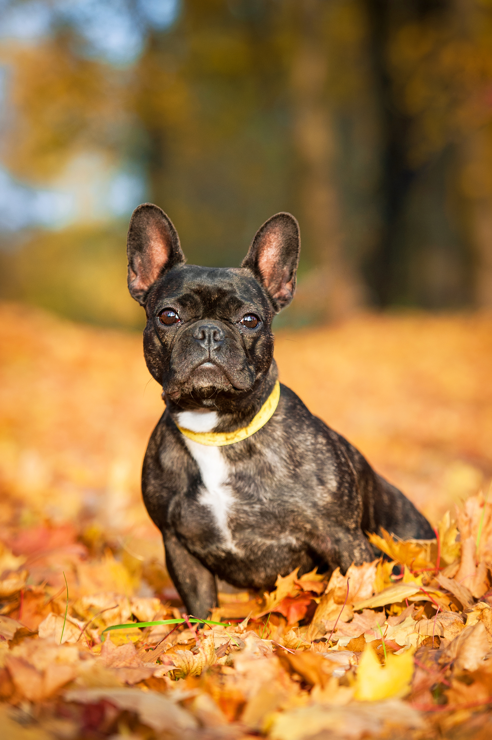 French bulldog in autumn