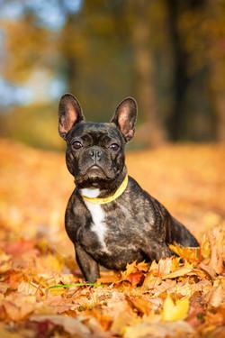 French bulldog in autumn
