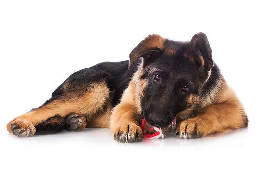 german shepherd puppy.jpg