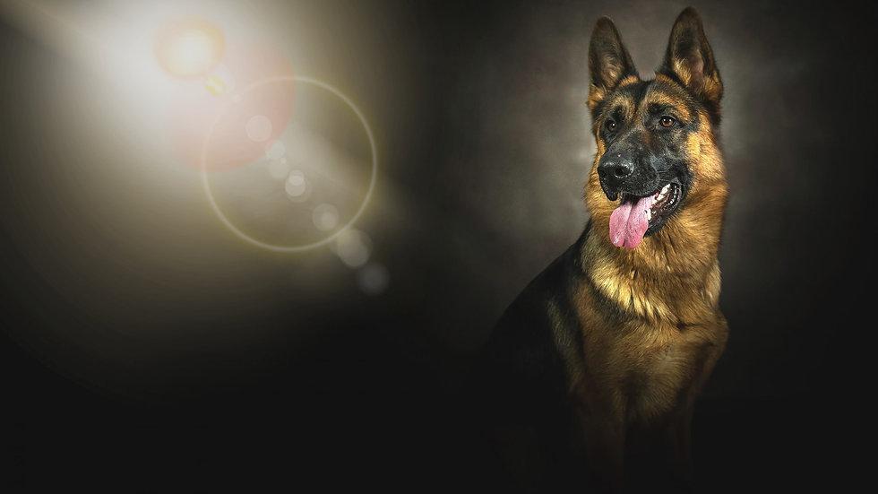 german-shepherd-background-hd-2560x1440-