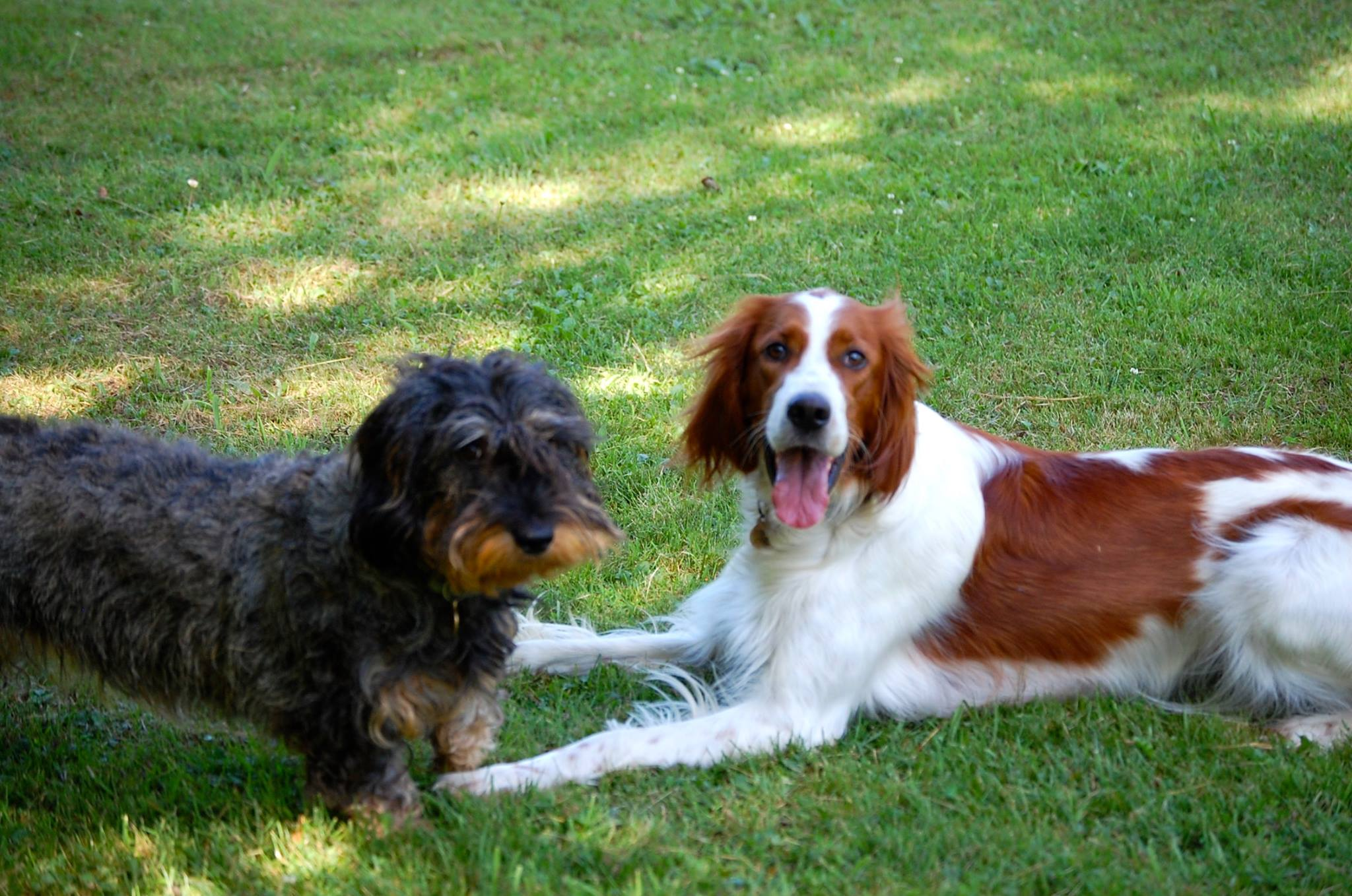 english setter and teckel dog