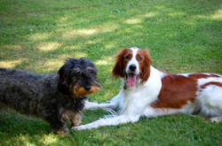 english setter and teckel dog