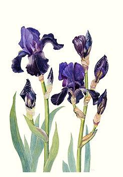 Black Swan Iris Botantical Watercolour  Vicky Nolan