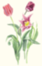 Tulips Botanical Watercolour Vicky Nolan