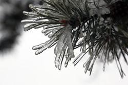 Ice_on_pine_tree_winter