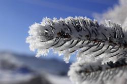 frost_winter_ice_snow_pine_tree