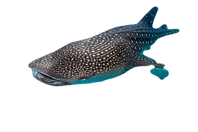 whale-shark_edited.png