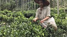 百年茶樹的家族傳承