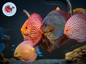 Najčastejšie ochorenia akváriových rýb