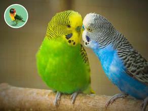 Andulky, spoločenské vtáctvo
