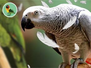 Preperovanie papagájov