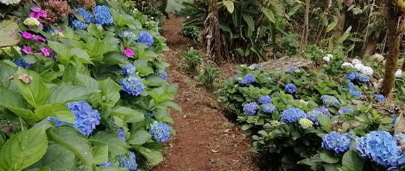 hortensia azul.jpg