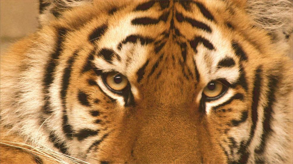 tiger eyes verbessert und filter hell.jp