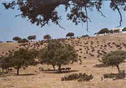 Der Trail der Toros - Kampfstiere auf großer Wanderung