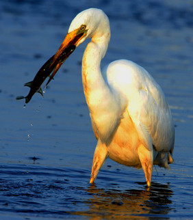 Egreta mare-Egretta alba L. .jpg