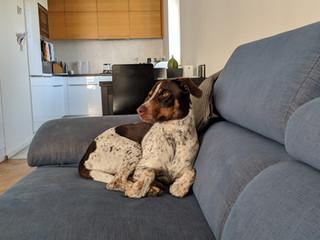 Pes gaučový