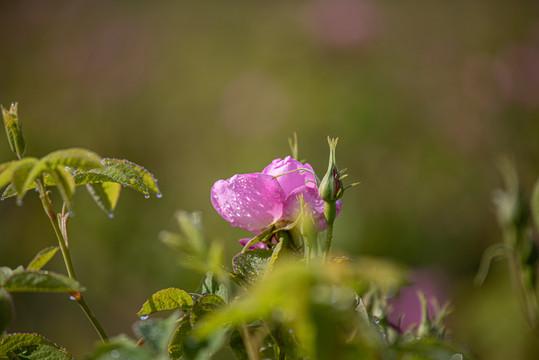 MATIERE PREMIEREs organic Rose Centifolia