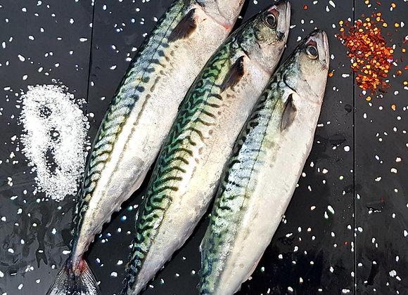 Fresh Brixham mackerel