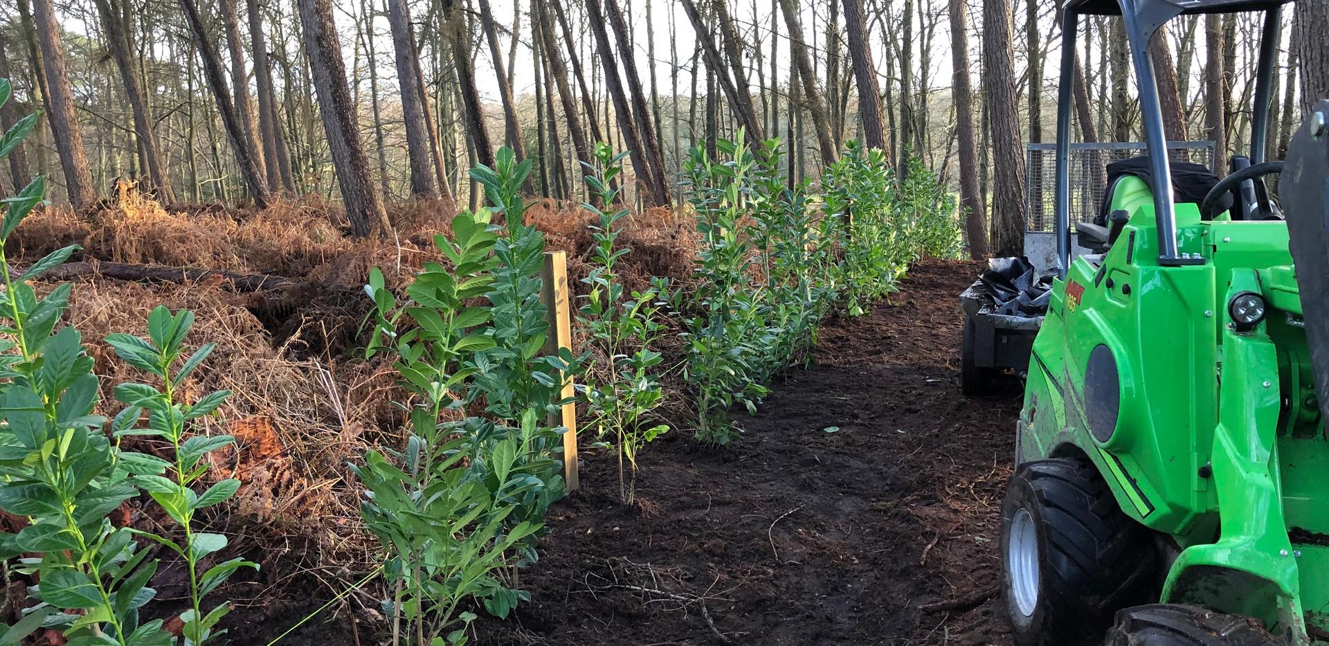 planting laurels