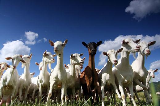 AMS UK Ltd - Goats and Sheep