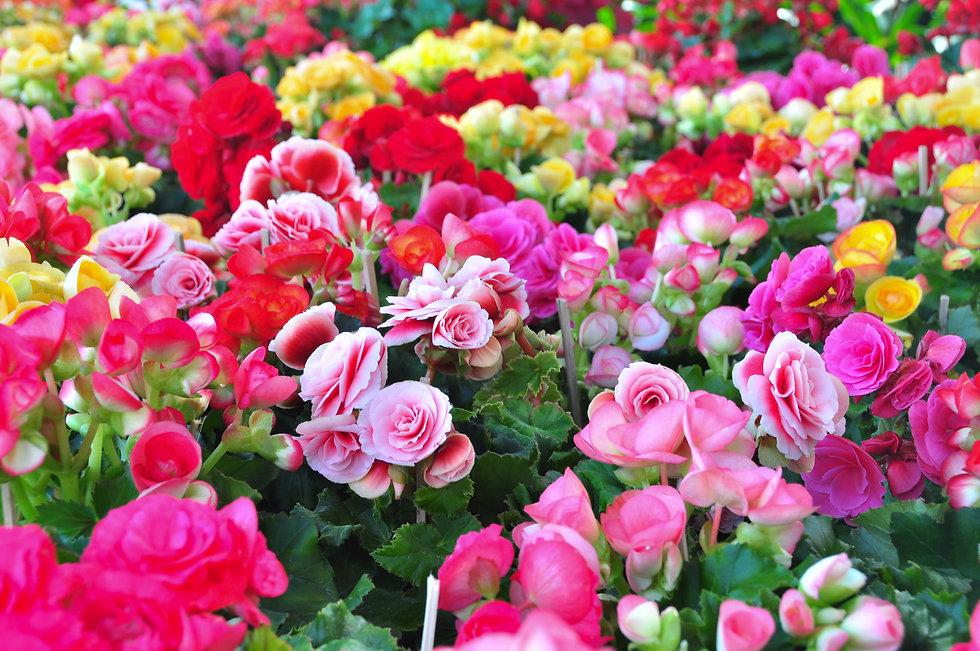 Begonias.jpg