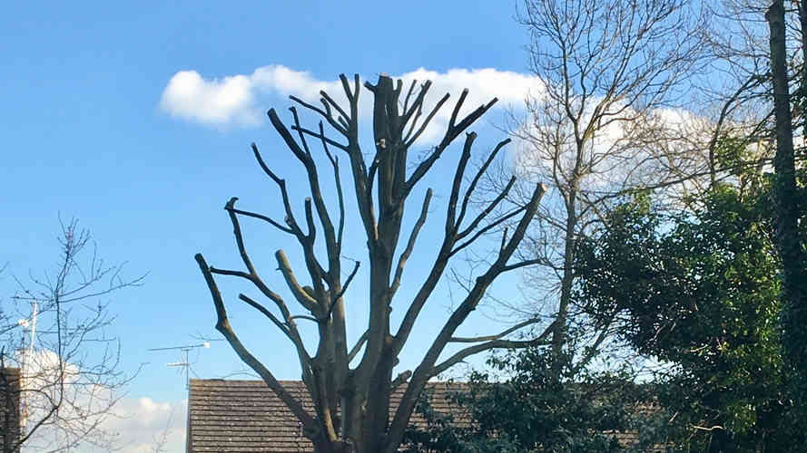 Bennetts Tree Care pollarding and height reduction