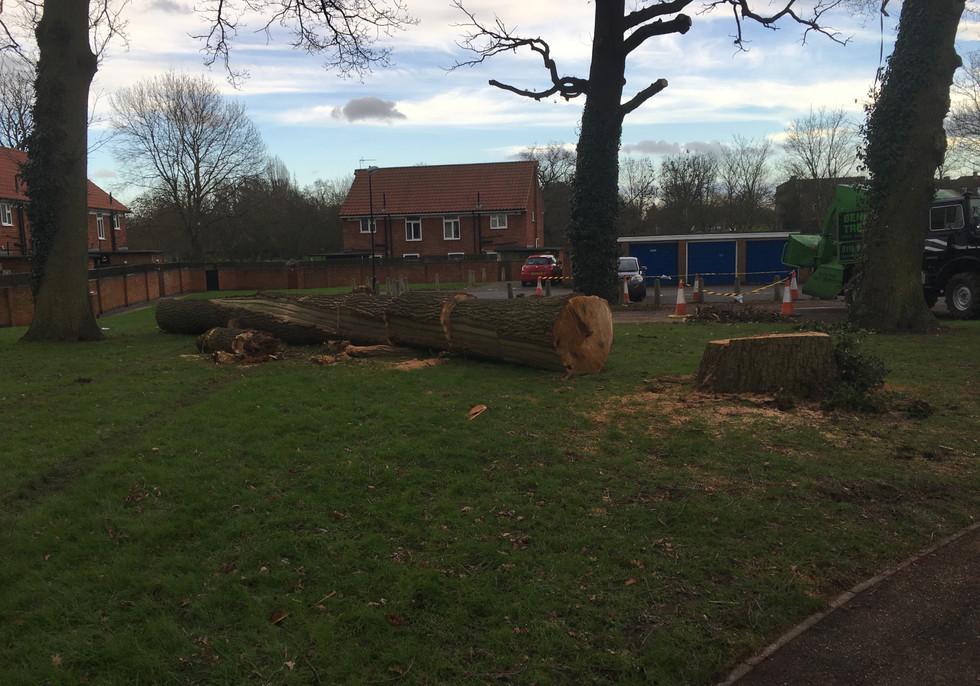 Bennetts Tree Care oak tree removal