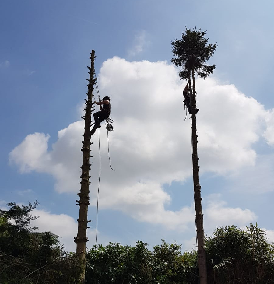 two trained arborists removing trees